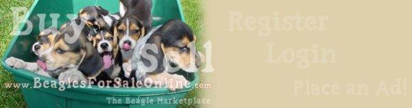 Beagles For Sale Online