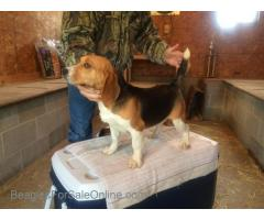 9 month old AKC beagle