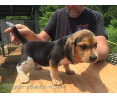 Akc Buckshot Jones bred pups