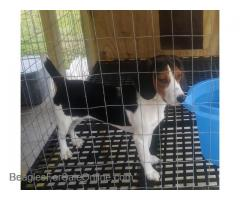 AKC Registered Female Beagle