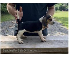 Akc female pups for sale
