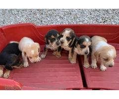 AKC Reg Beagle Pups! SPO Style