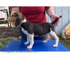 AKC Female Beagle Puppy