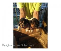 AKC Registered Beagle Puppies