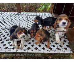 AKC Regestered Weircreek Beagle Puppies