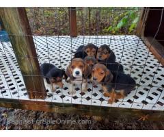 AKC Regestered Weircreek Beagle Puppies
